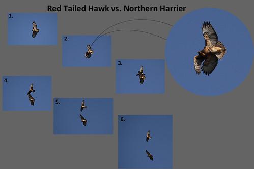 RedTail vs Harrier