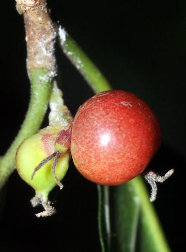 Streblus brunonianus (Whalebone tree)
