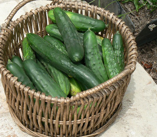 big basket of cukes