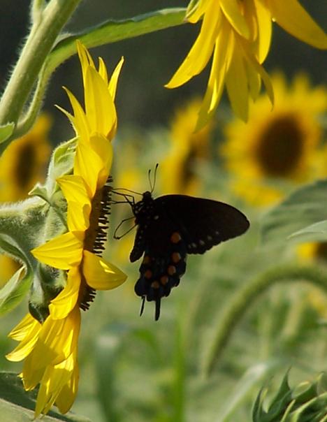 Sunflower & Flutterby