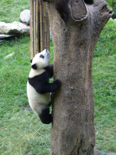 One year old Panda climbing