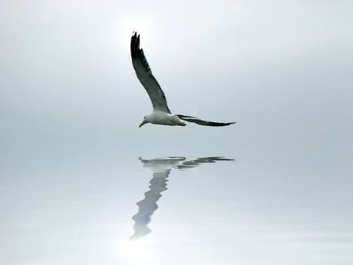 reflection gull