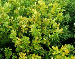 """Oak Tree Leaves - Adobe Photoshop """"Smart ..."""