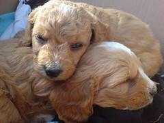 Niedliche Kleine Hunde 2