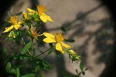 St Johnswort