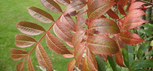 Rowan Leaves