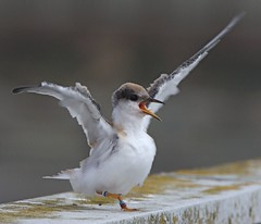 Least Terns - one of many birds affected by Gu...