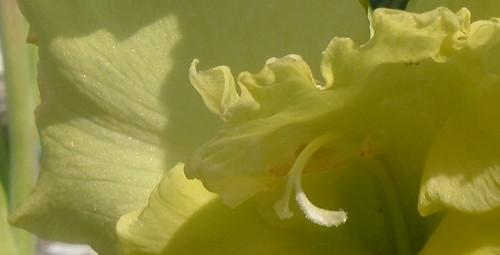 Lime Gladiola