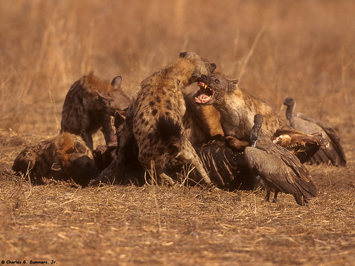 Image result for images of vultures and hyenas fighting over a carcass
