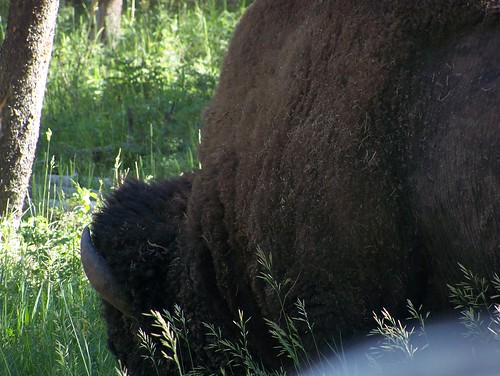 bison side