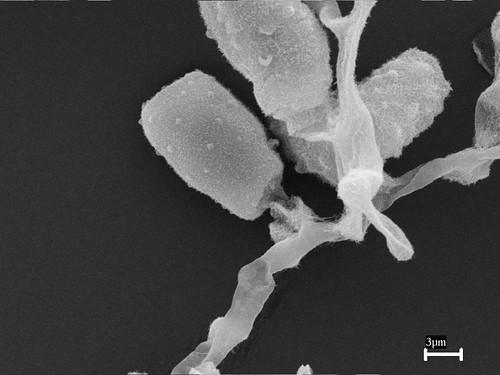 pithomyces-003