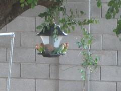 Neighborhood lovebirds