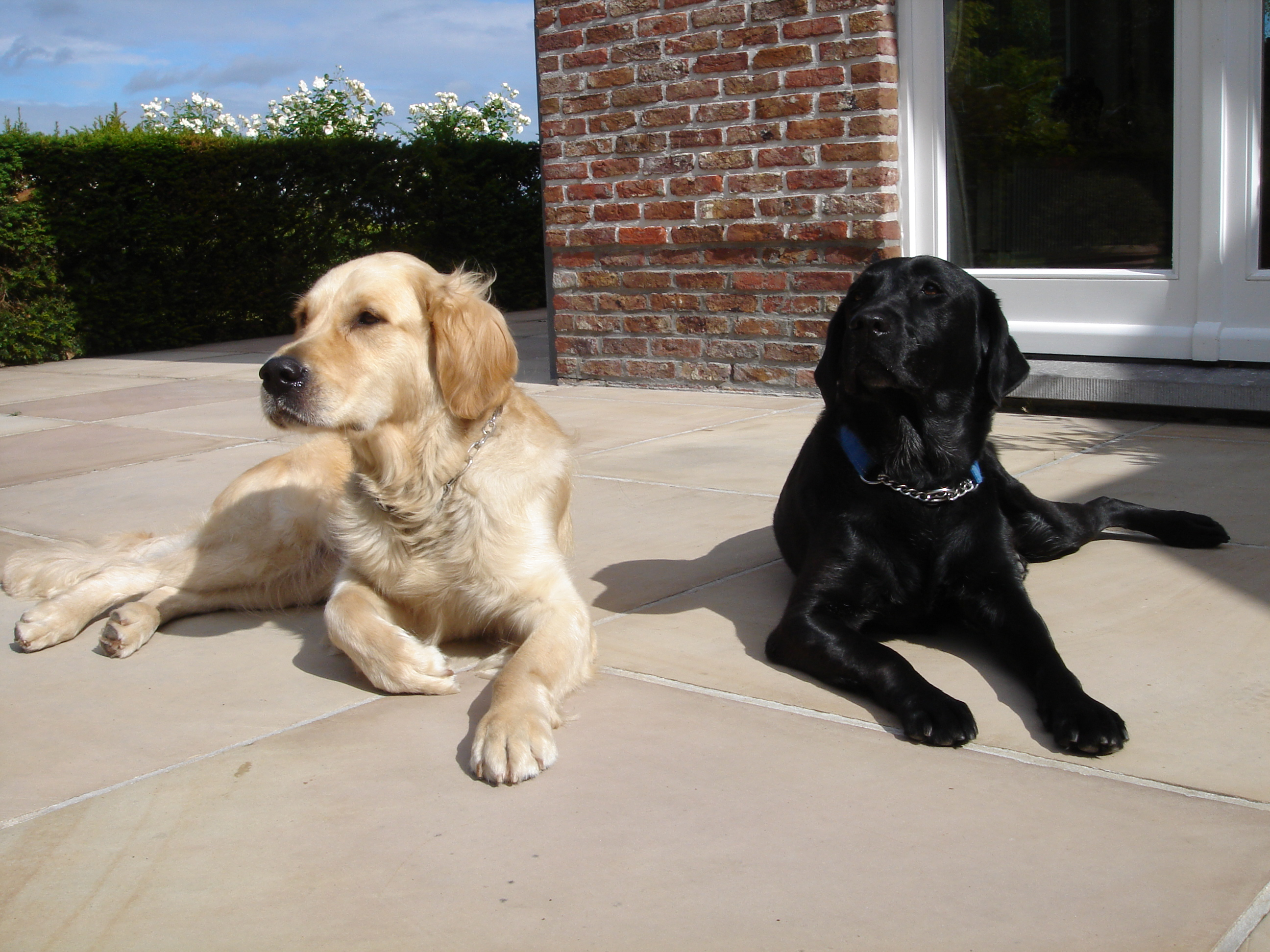 Golden Retriever and Black Labrador