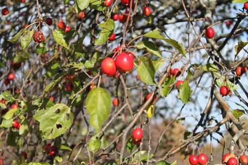 UW Arboretum - Crabapples