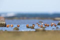 Curlew Sandpiper | Spovsnäppa | Calidris ferruginea