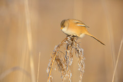 Bearded Reedling | skäggmes | Panurus biarmicus | Stockholm | January 2016