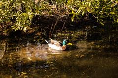 Duck in Hermann Park