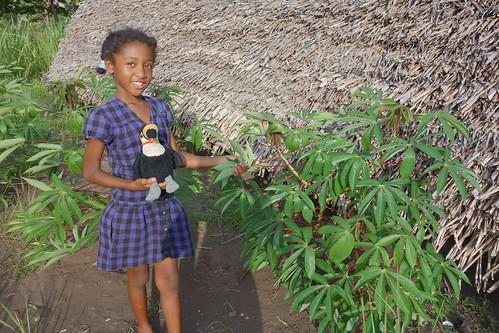 On cueille des feuilles de manioc.