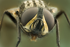 Common Housefly Portrait