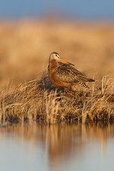Hudsonian Godwit, male