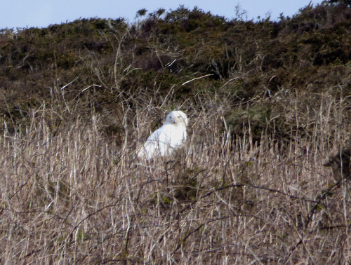 "Snowy Owl, Bartinney, 17.04.16 (D.Flumm) • <a style=""font-size:0.8em;"" href=""http://www.flickr.com/photos/30837261@N07/26205733200/"" target=""_blank"">View on Flickr</a>"