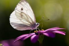 1 vlinder