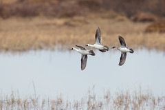 Smews in flight