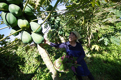 "Picking papayas • <a style=""font-size:0.8em;"" href=""http://www.flickr.com/photos/63389963@N08/25852075536/"" target=""_blank"">View on Flickr</a>"