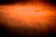 Véronique Magnin, Rouge couchant sur un troupeau de buffalos, Zimbabwe