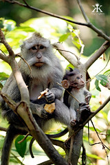 Bali 2015, Monkey Forest, mom and baby monkey 3 WM