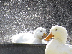"""ducks taking a bath • <a style=""""font-size:0.8em;"""" href=""""http://www.flickr.com/photos/72892197@N03/24877305969/"""" target=""""_blank"""">View on Flickr</a>"""