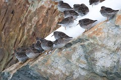 Purple Sandpiper | skärsnäppa | Calidris maritima | Norway | April 2012