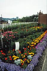 Aug86 31 - Chrysanthemum Society