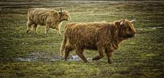 Highlander cows...having a hurry..