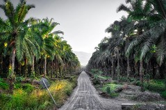 In the morning, when I could actually look around because it wasn't too hot, the miles of palm farms were comforting. Their repetitiveness made it so I had no idea how far I walked, whenever I looked left or right it was the same sight; palm trees in neat