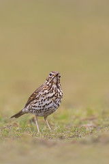 Song Thrush | taltrast | Turdus philomelos