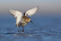 Dunlin taking off
