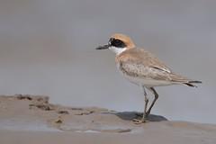 Greater Sand Plover | ökenpipare | Charadrius leschenaultii | Jiangsu, China | male