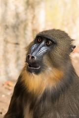 mandrill aap