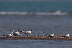 Gull-billed Tern | sandtärna | Gelochelidon nilotica