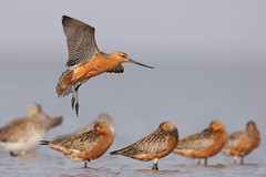 Bar-tailed Godwit landing in a flock
