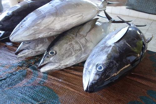 Chaque thon vaut environ 30 rials, soit environ 70 euros.