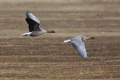 Pink-footed Goose | spetsbergsgås | Anser brachyrhynchus
