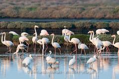 Flamingos (Phoenicopterus roseus) and Spoonbills (Platalea leucorodia)