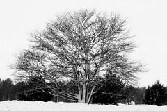 boom zwart wit