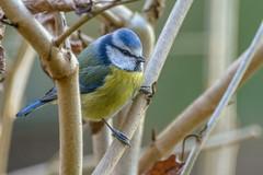 Pimpelmees - Blue tit -  Cyanistes caeruleus