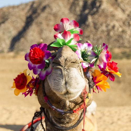Kamelausflug in Pushkar