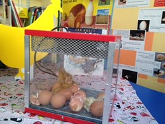 chicks hatching 2