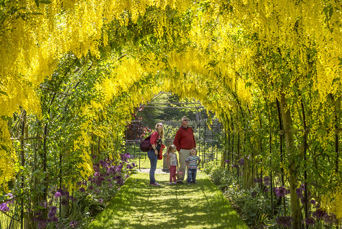 'Laburnum Tunnel' at Seaton Delaval Hall