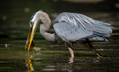 Great Blue Heron - Breakfast